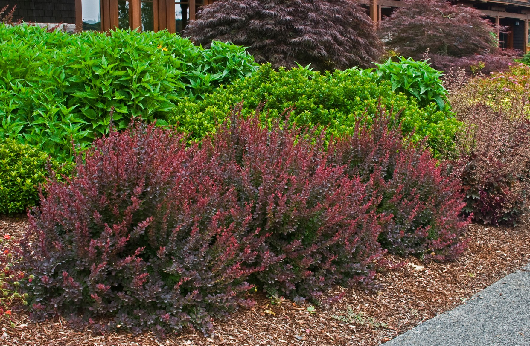 Berberis Royal Burgundy